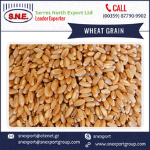 Soft Milling Animal Feed Wheat Grain Available from Bulgaria