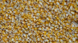 QUALITY GRADE 1 YELLOW CORN & WHITE CORN/MAIZE FOR HUMAN & ANIMAL FEED FOR SALE