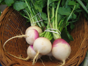 Fresh Turnips