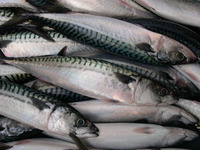 Sea fish best seafood with fresh frozen mackerel fish/ pacific mackerel