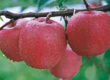 APPLES,FRESH APPLES,QINGUAN APPLE FOR EXPORT