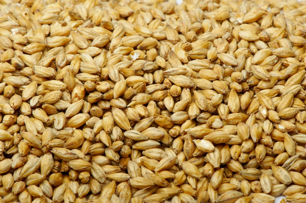 Feed Barley for animal feed and human consumption