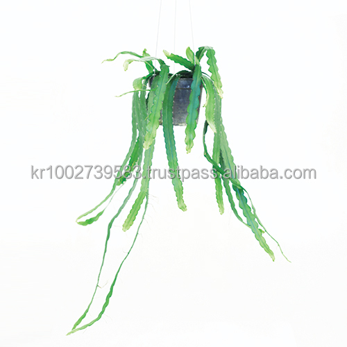 "Easy to grow! House Hanging Plants "" Rhipsalis occidentalis "" by Joinflower Joinfolia."