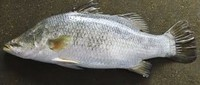 Barramundi fish for sale