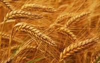 Wheat DAP China