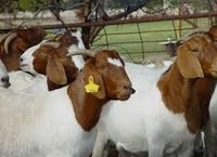Boar Goat and Saanen Goat available.