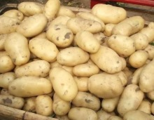 Holland Potato/yellow holland potato/Fresh Irish potatoes