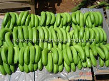 ECUADOR FRESH GREEN CAVENDISH BANANAS