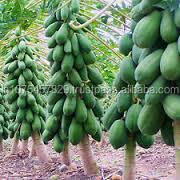 PAPAYA SEEDS - MARUTI RED GLORY F1