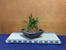 Japanese professional mini BONSAI at reasonable prices various artistic shape