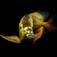 Grade A Asian Arowana Fish Available for Sale and Good Price