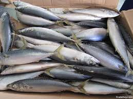 wholesale new stock pacific mackerel frozen fish