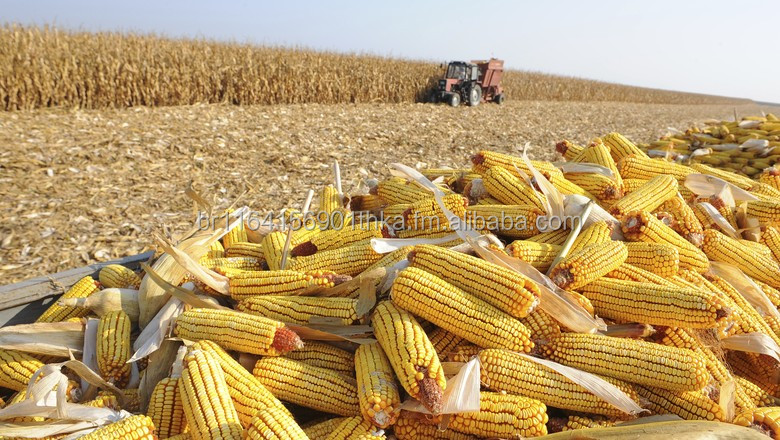 Dry Maize/Dried Yellow and White Corn/Dried Sweet Corn Human and Animal feeding Best Price