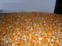Good quality and Grade A White and Yellow Maize corn for sale at cheap prices