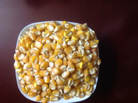 INDIA YELLOW MAIZE