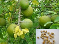 Indian Bael fruits tree seeds Aegle marmelos Rajasthan Asia