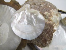 Indonesian White Lip Mother of Pearl Shell