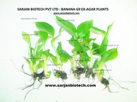 Banana G9 Tissue Culture Plants