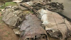 Dry and Wet Salted Donkey/Goat Skin /Donkey / Salted Cow Hides