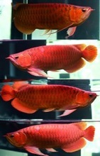 SUPER RED AROWANA FISHES FOR SALE (WHOLESALE PRICES)