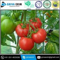 Top most Selling Tomato at Very Low Price