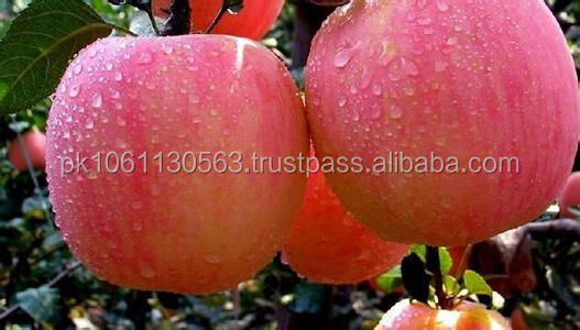 best price fresh FUJI apples