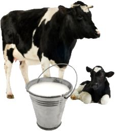 Fresh Cow Milk.