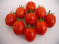 DARK RED TOMATO SEEDS SHAKTIMAN for rainy season