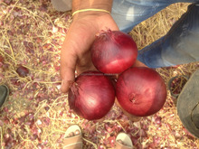 FRESH NEW CROP RED ONION 40MM