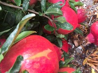 Pomegranates Fruit - 2nd Quality- Not the prettiest and the price reflects the quality