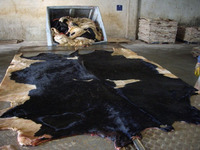 Wet salted cow Hides /skin , cow heads and animal skins /Wet Blue Cow Hides
