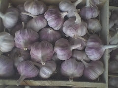 purple garlic /Hybrid Garlic (Purple Garlic)