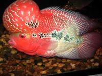 Red Dragon Asian Arowana Fish / King Kamfa Flowerhorn Fish / Black Diamond Stingray Fish