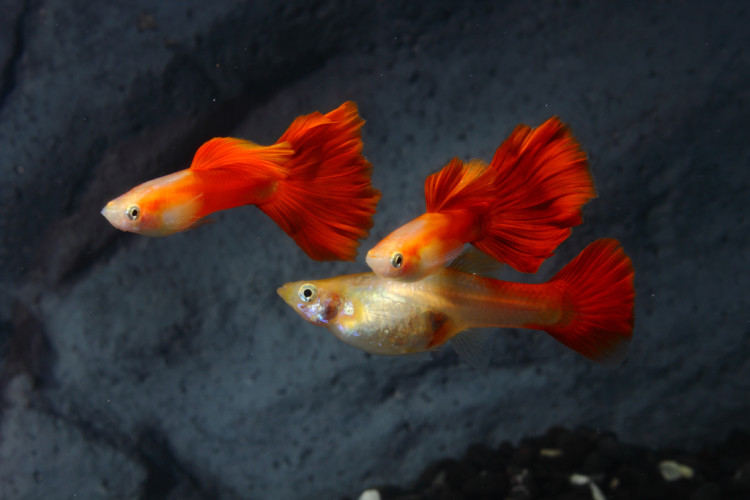RED BLONDE GUPPY (Best Seller)