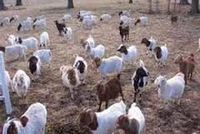 Live Boer Goats, Sheep and Cows