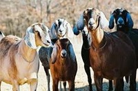 Anglo Nubian Goats for sale
