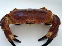 Live Scottish Brown crab / Cancer pagurus