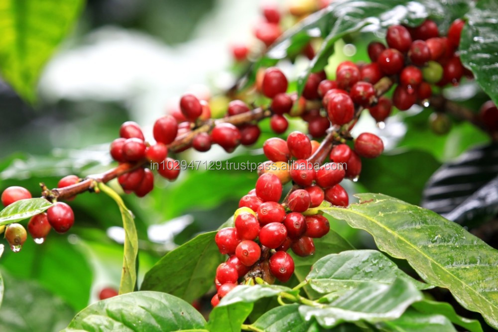 Organic Biostimulant for Coffee Plantation