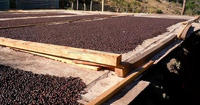 High Quality Robusta & Arabica Coffee Beans Best Price