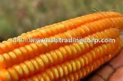 Animal feed grade / dried yellow corn / India / best quality