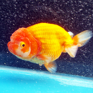 High-grade and Japan quality & Premium live pet aquarium fish goldfish , Other color also available RANCHU