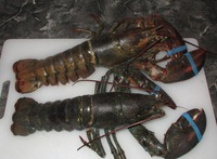 ALive Flower Lobster (Panulirus Ornatus)and Mud Crab (Scylla Serrata),Live Tiger Prawn and other live Seafoods