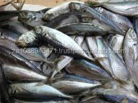 FROZEN HORSE MACKEREL FISH TRACHURUS JAPONICUS 18CM UP GRADE A