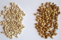 BARLEY FOR ANIMAL FEED