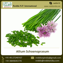 Edible Onions Allium Schoenoprasum (Chives) Available from Trusted Supplier