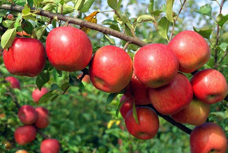 Fresh red fuji apple fruit exporters