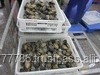 Frozen AA Grade Quality Abalone FOR SALE
