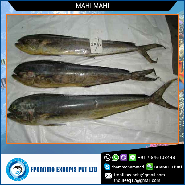Frozen Fish Mahi Mahi Whole Round for Sale