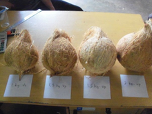 Dry Semi Husked Coconuts