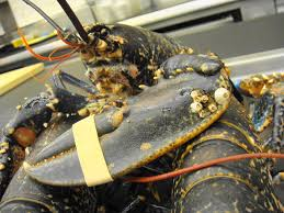 Whole Live and Frozen Lobster